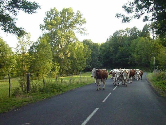 Cows - life on the road in France