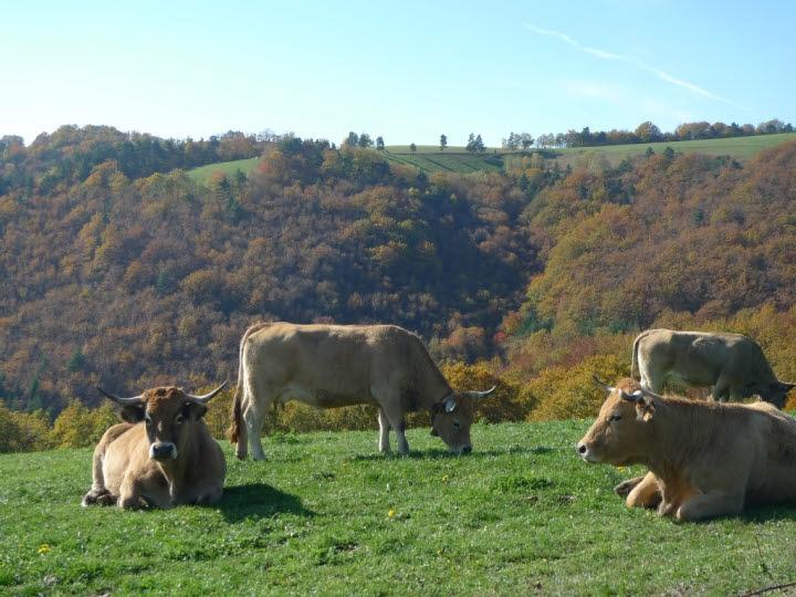 Cows..